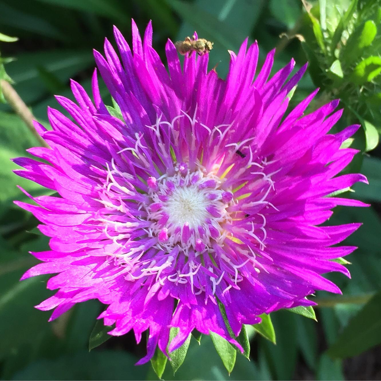 Morningtime flower