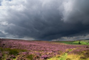Moorland Heather on Nought Moor near Pateley Bridge