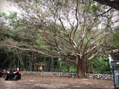 hugetree
