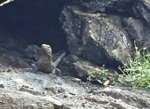 Lizard of the cliffs