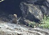 Lizard of the cliffs